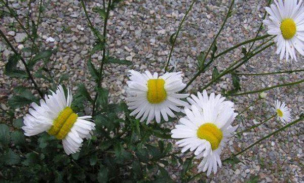 """Fukushima-Gänseblümchen"" stellt Netz vor Strahlungs-Rätsel"