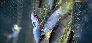 Greenpeace: Produkte für Heringsschmaus aus kritischen Fanggebieten