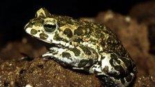 Freiwillige Amphibien-schützer werden gesucht