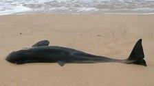 Killer-Wal am Strand von Sylt gefunden