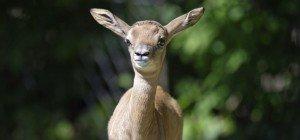 Nachwuchs im Tiergarten: Seltene Mhorrgazelle geboren