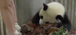 Aufräumen? Nicht mit diesem Panda