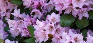 Der Rhododendron im VOL.AT-Gartentipp