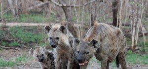 Bub durch Hyäne in Südafrika lebensgefährlich verletzt