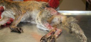 Schwer verletzter Fuchs in Wien-Hietzing in illegaler Schlingenfalle gefunden
