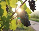 Wiener Weinwandertag 2016: Auf den Herbst anstoßen