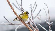 Wintervogel-Zählung von BirdLife im Jänner 2017