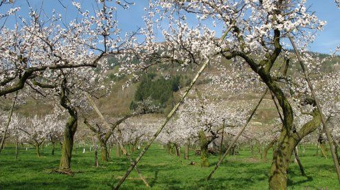 Marillenbäume in voller Blüte
