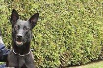 Diensthund 'Cantor' stoppt Flüchtigen in Wien-Penzing