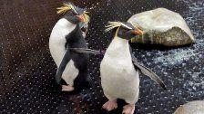 Verirrt: Kleine Pinguine aus Australien in Wien