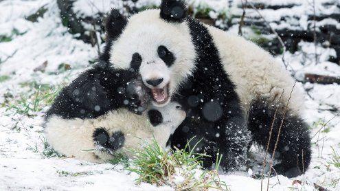 Große Panda-Freude über Schnee in Wien: Spielen in weißer Pracht