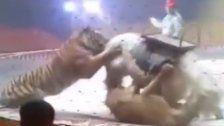Pferd bei Zirkusprobe von Tiger & Löwe zerfleischt