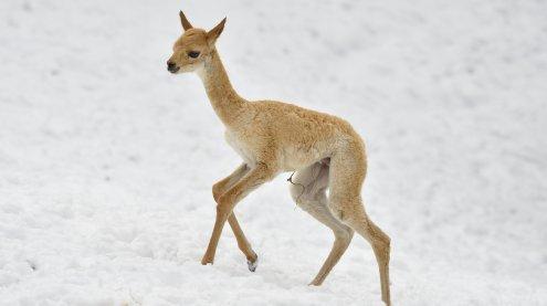 Vikunja-Nachwuchs hält Wiener Tiergarten Schönbrunn auf Trab