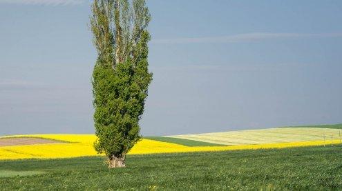 Pappel ist der Baum des Jahres