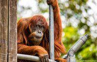 Ältester Orang-Utan der Welt mit 62 Jahren gestorben